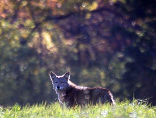 Coyote-8
