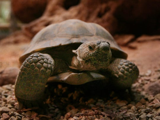 A captive Mojave Desert Tortoise explores its corral at the Red Cliffs Desert Reserve interpretive center in St. George in this Spectrum file photo. Tortoise populations are holding steady in the Red Cliffs Desert Reserve, although they have still not recovered after devastating fires and drought more than a decade ago.