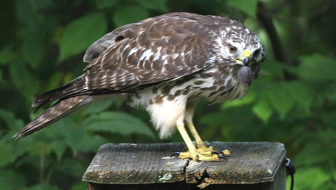 A young red-shouldered hawk gets ready to dine on a baby snapping turtle.