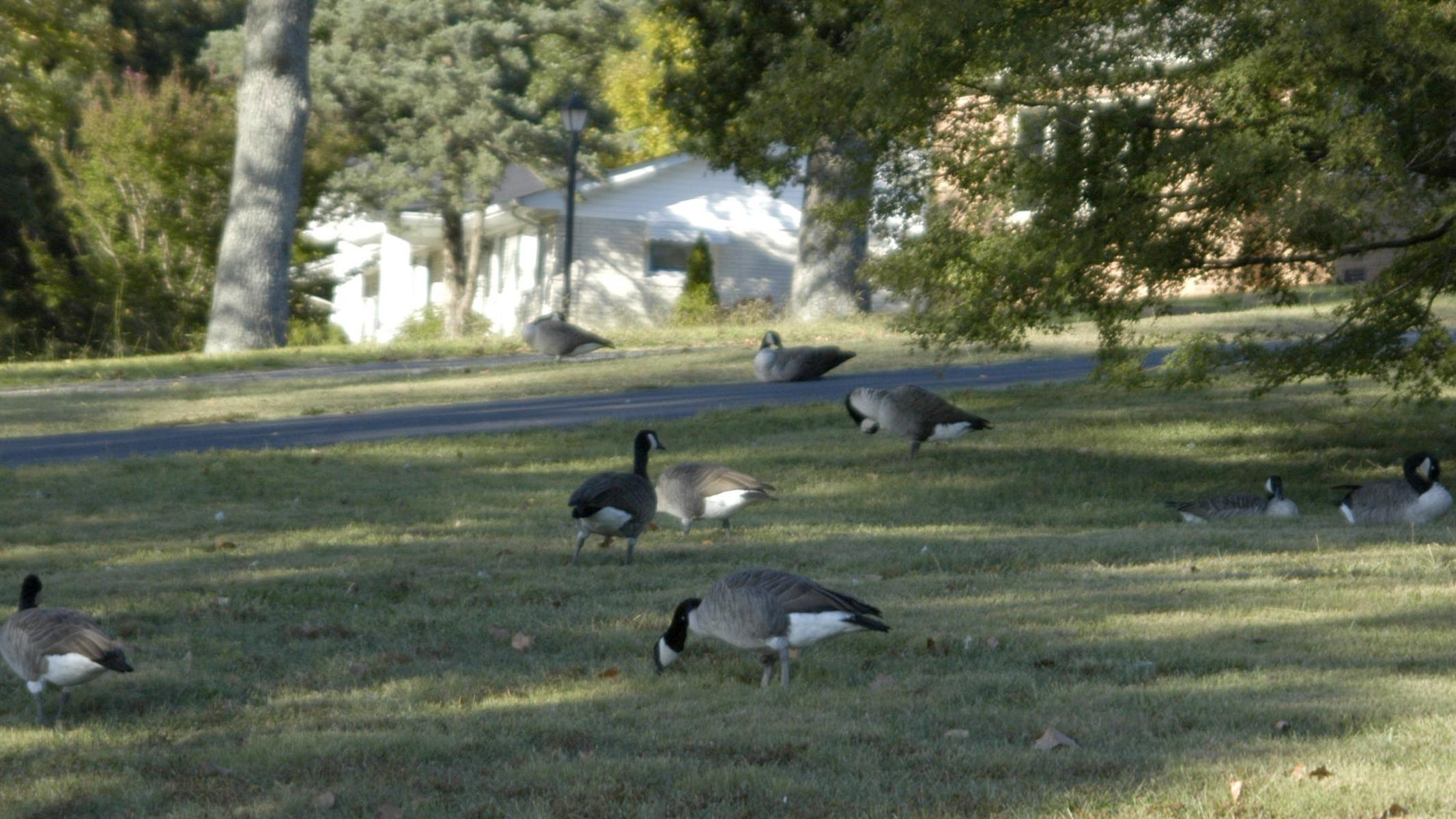 Petitioners want geese reduced at Dickson's Luther Lake