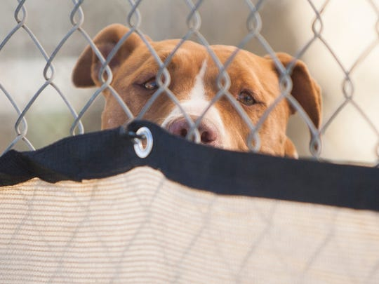 Sienna, an American Staffordshire terrier, peers over her fence covering as she watches activity at the Canine Adoption and Rescue League facility in Santa Paula. The dogs at C.A.R.L. were being blessed by members of St. Paul's Episcopal Church in Ventura on Saturday.