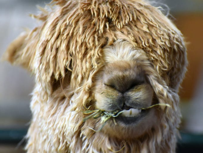 Yes, this alpaca can see through all that hair. (I