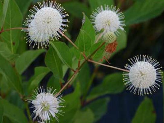 Button bush on Lake Lafayette.