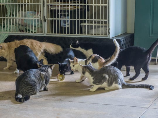 Several cats play at Companion Cats in Battle Creek. Since the organization does not euthanize, some cats have lived here for years.