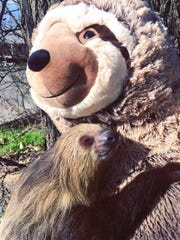 This sloth, courtesy of Classroom Safari, will make an appearance at the Reptilian National Expo in Tulare this weekend.