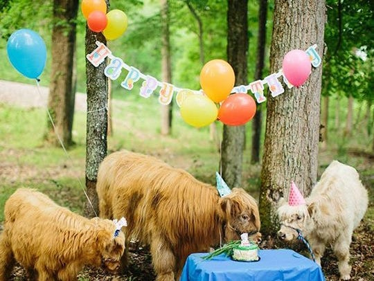Several of the cows on the Hopson's farm participate in a birthday celebration for Baby James. Photo taken by Suzanne Garland, courtesy of Happy Hens and Highlands farm.