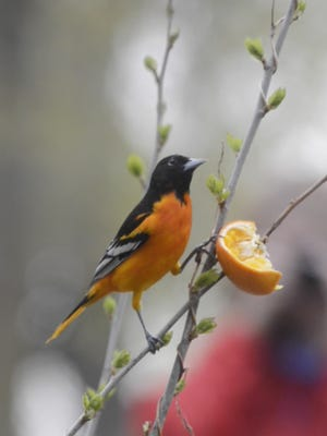 A Baltimore oriole eats an orange at Magee Marsh Wildlife Area.