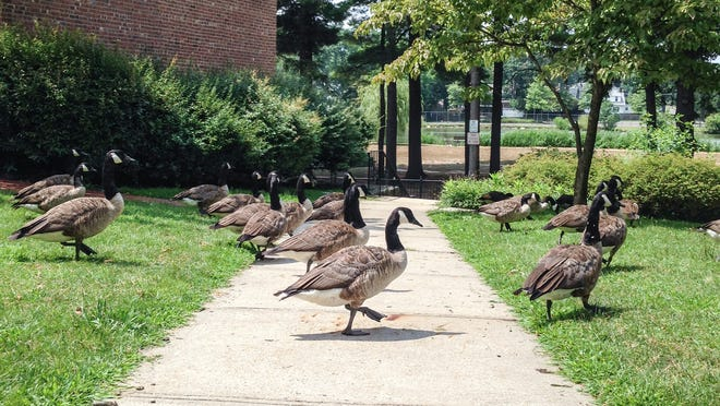 Geese in Huguenot Park/Twin Lakes in New Rochelle on July 31.
