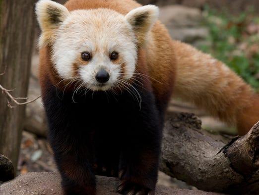 Shama the red panda