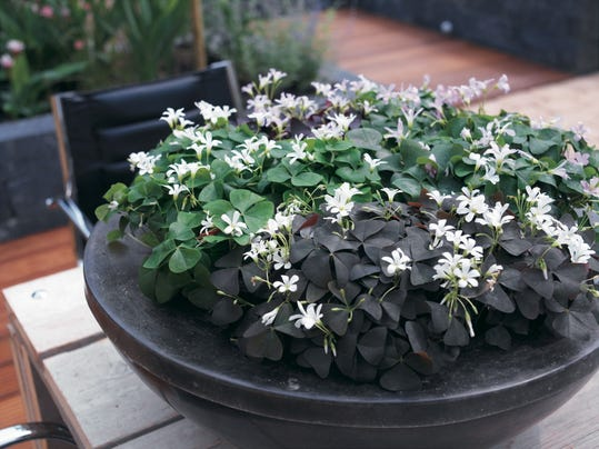 how to kill oxalis in flower beds