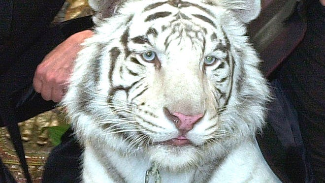 """Montecore, a 600-pound white bengal tiger poses after perfomring in the """"Siegfried and Roy'' show at the Mirage Hotel and Casino in Las Vegas."""