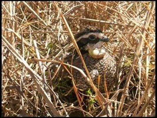 bobwhite by dr christopher williams (courtesy of Univer of Delaware)_thumb