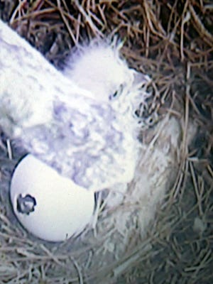 The first Steller's sea-eagle hatchlings in the Louisville Zoo's history have now arrived. The eaglets can be seen daily on a nest cam at the exhibit in Glacier Run.