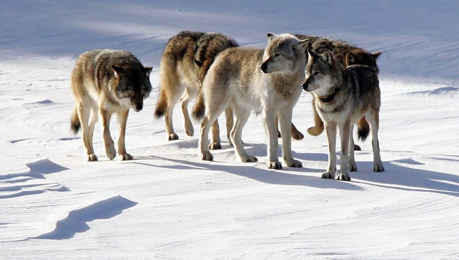 A pack of gray wolves is shown on Isle Royale National Park in northern Michigan.