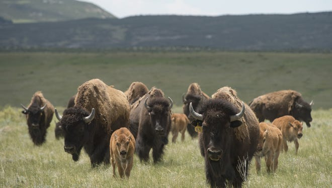 A herd of bison walk with their calves at Soapstone Prairie Natural Area north of Fort Collins on Wednesday, June 28, 2017. The bison, introduced to a 1,000 acre pasture last year, have been flourishing with eight new calves this season.