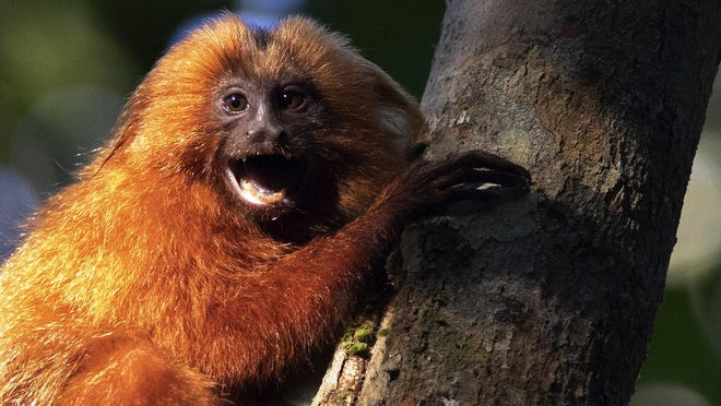 A golden lion tamarin hugs a tree in the Atlantic Forest region of Silva Jardim in Rio de Janeiro state, Brazil, Thursday, Aug. 6, 2020. An eco-corridor will allow endangered Golden lion tamarin to safely cross a busy inter-state highway that bisects one of the last Atlantic coast rainforest reserves.