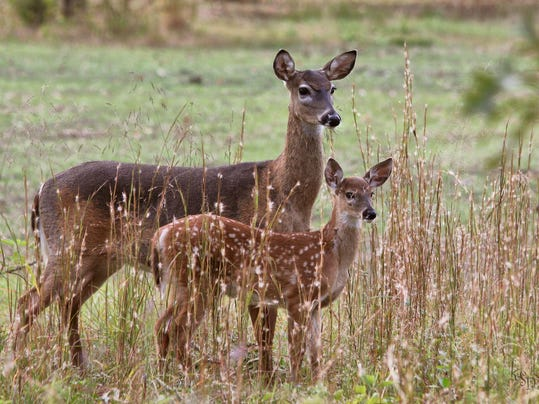 Whitetailed_Deer-Doe_(Kim_McFry)