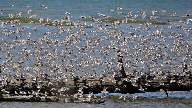 Arctic-bound shorebirds traveling from as far south as Argentina stop in Grays Harbor National Wildlife Refuge to feed during their journey northward.