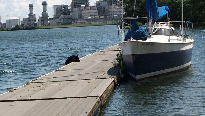A yearling bear hopped on the dock at Lake Julian and a sailboat Sunday afternoon, before swimming off.