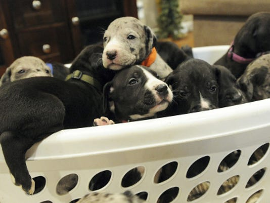 Snowy, a Great Dane owned by Brandon and Aimie Terry of York Haven, had a litter of 19 puppies in late October. Some of the puppies climb over each other in a laundry basket on Saturday.