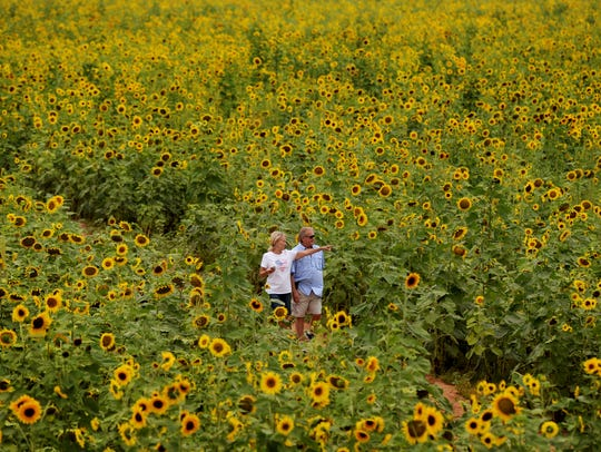 Robert Young and Debbie Zepp walk through sunflowers in the Cairo Plantation maze during the 2017 Sunflower Trail & Festival. The 2018 edition is June 16.