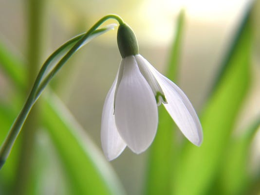 Snowdrops or Snowflakes? They are alike, but different