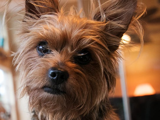 Sarah Hulke-Ehorn owns five Yorkies like Dolly. She