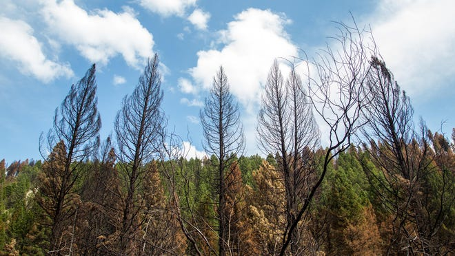 Trees scorched by the Cabin Gulch fire sit in front of an island of green occupied by their more fortunate counterparts in the east fork of the gulch outside of Townsend.