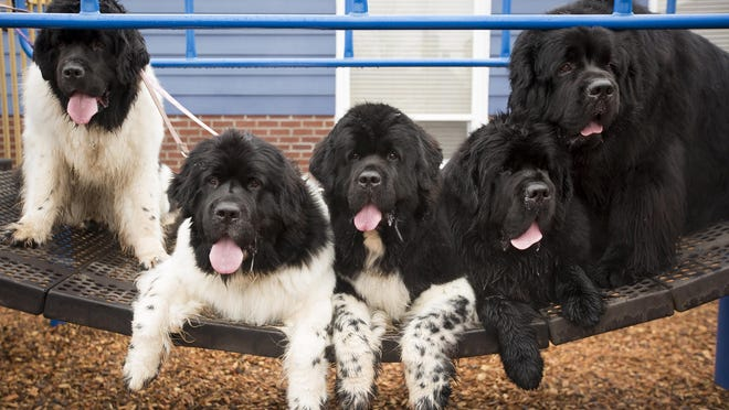 Five of Becky Davis' eight Newfoundlands sit patiently on playground equipment at a park in Hubbard on Saturday. Newfoundlands are known for their gentle disposition and natural swimming abilities.