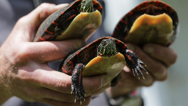 These painted turtles live at the University of Michigan's Edwin S. George Reserve, a 1,500-acre refuge near Pinckney. For decades, it has been home to one of the longest-running studies of a turtle population in the world.