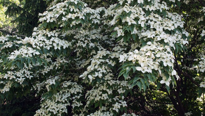The white bracts of a kousa dogwood make the tree a beautiful sight in summer.