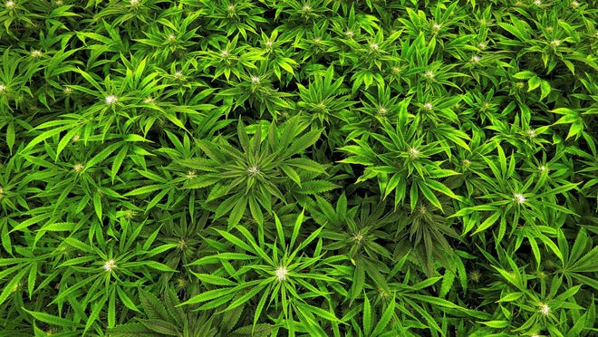 Some states are setting up marijuana training programs. Marijuana grows at the Ataraxia medical marijuana cultivation center in Albion, Illinois, in 2015.