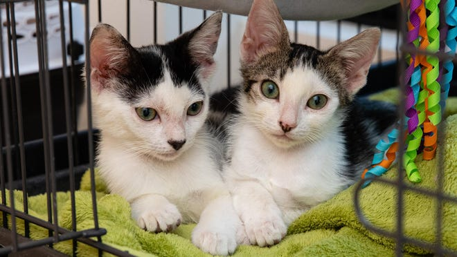 Kitty siblings Danny and Fred awaiting a new home