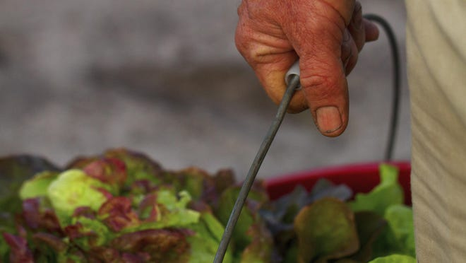 Farmer Carl Frost of Kai-Kai Farm in Indiantown holds a bucket of freshly picked lettuce in the early morning.
