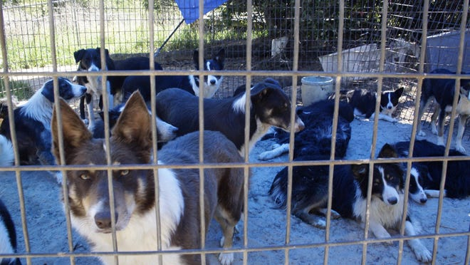 Border collies rest in a caged area in 2011 after they were seized from a puppy mill operation in Jefferson. That year Texas passed a law creating licensing and inspection requirements to crack down on puppy mills, but the Sunset Advisory Commission recently suggested undoing those regulations.