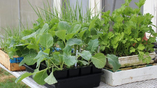 This photo shows growing lettuce transplants. Sprouting seeds then carefully moving them to individual cells is an easy and compact way to have transplants ready to fill in spaces opened up by harvested vegetables.