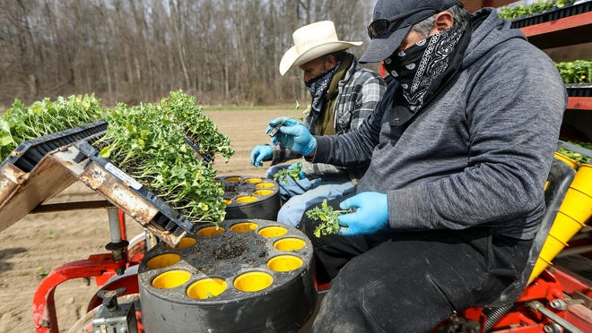 Coronavirus pandemic has kept many migrant workers away due to possible exposure creating less workforce to plant organic kale in one of the many fields owned and operated by  Mike Pirrone Produce, the 1,200-arce farm in Capac, Mich., photographed on Tuesday, April 28, 2019.