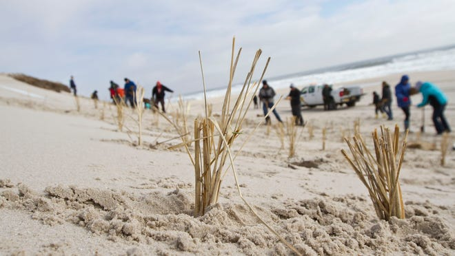 Volunteers plant dune grass at Island Beach State Park to help support the natural barrier island. Berkeley Township, NJ Saturday, March 21, 2015 Doug Hood/Staff Photographer @dhoodhood