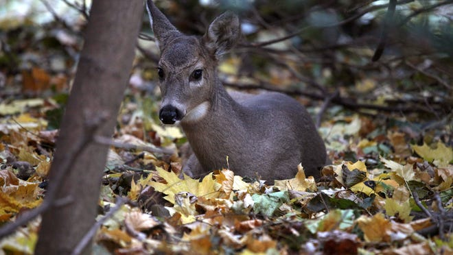 Baby, a fawn believed to have been born in June, sits among leaves Friday at a park in Pleasant Ridge. Baby has become the talk of Pleasant Ridge residents on Facebook, who post photos of her.
