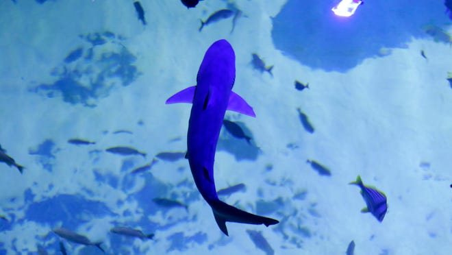 This blacknose shark was one of six sharks transported to the Sea Life Michigan Aquarium on Thursday at Great Lakes Crossing Outlets in Auburn Hills. A small group of people were allowed to see the sharks introduced into the 120,000 gallon tank.
