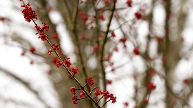 Allergy season has begun as trees begin to bloom near Pringle Creek in Salem on Tuesday, Feb. 24, 2015.
