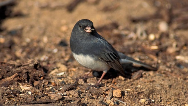 "Dark-eyed juncos are also known as ""snowbirds"" because they appear here in Missouri and over much of the U.S. in winter."