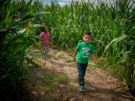 3-year-old Adrian Perea explores the corn maze at the