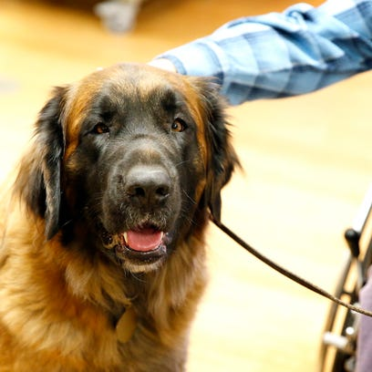 Ripley, a Leonberger dog, visits with residents at