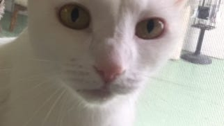 I'm a snow-white beauty with green eyes. I'm a one-woman cat who would like a home that's just the two of us, please. I'm a 2-year-old female looking for that special someone who understands me.