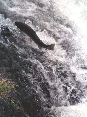 Of the roughly 625,000 steelhead and nearly 100,000 cutthroat smolt reared by the Cowlitz Trout Hatchery for release in 2016, more than 500,000 went missing prior to release.
