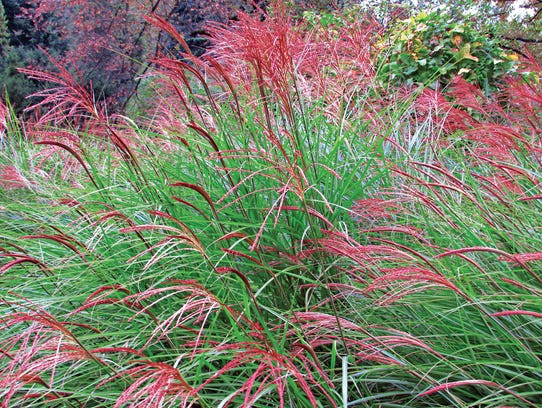 Planting ornamental grasses, such as Miscanthus, adds