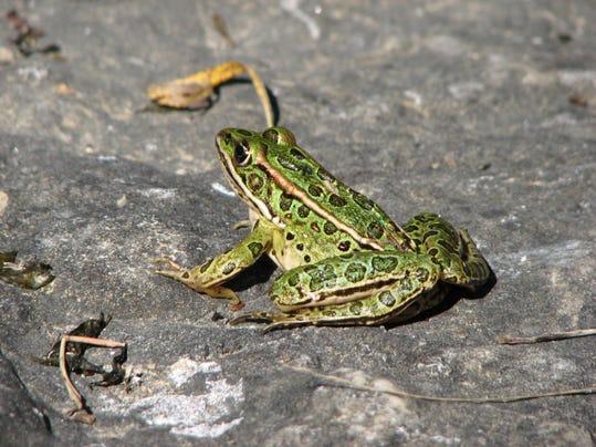 dcn 0503 ridges northern leopard frog