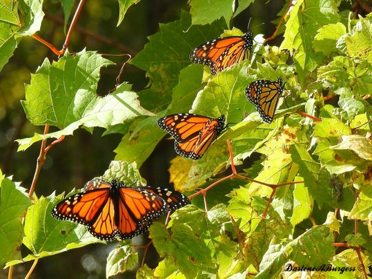 Trapped Monarchs