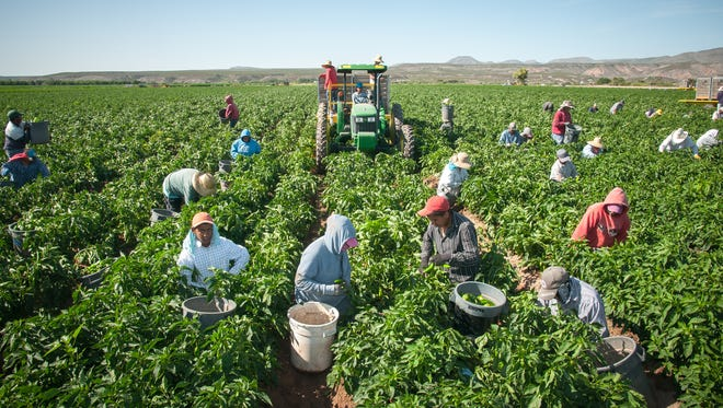 Workers bring in the 2015 chile harvest from the Hatch Valley.